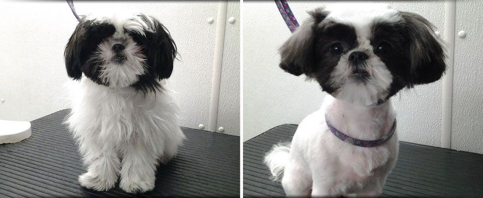 Before and After - small black and white dog