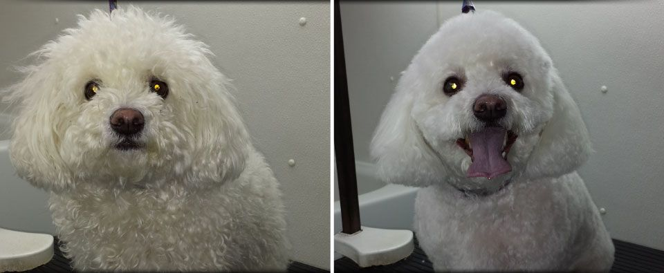 before and after grooming on small white dog