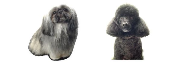 Shih Tzu and poodle