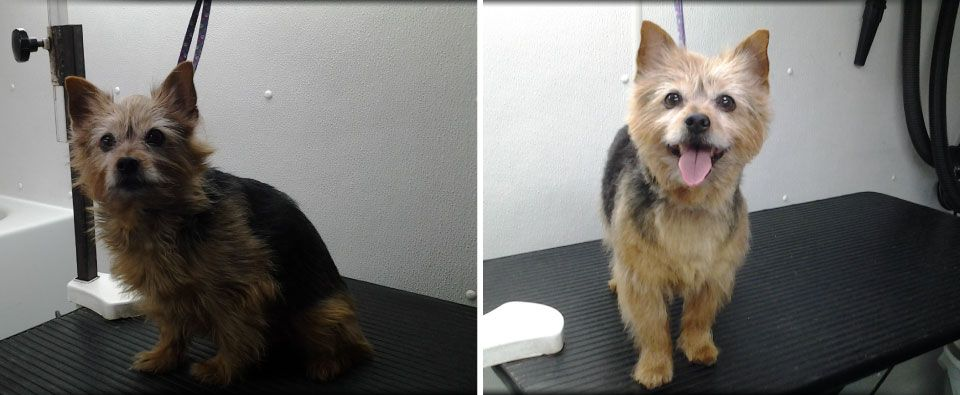 Before and After - Yorshire-type dog