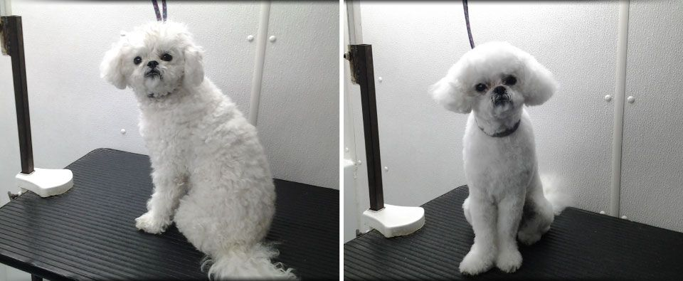 Before and After - small white dog with curly hair