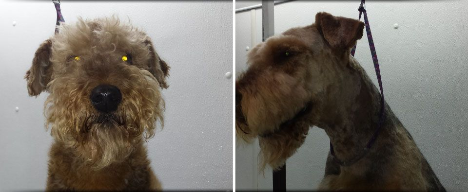 before and after grooming on terrier