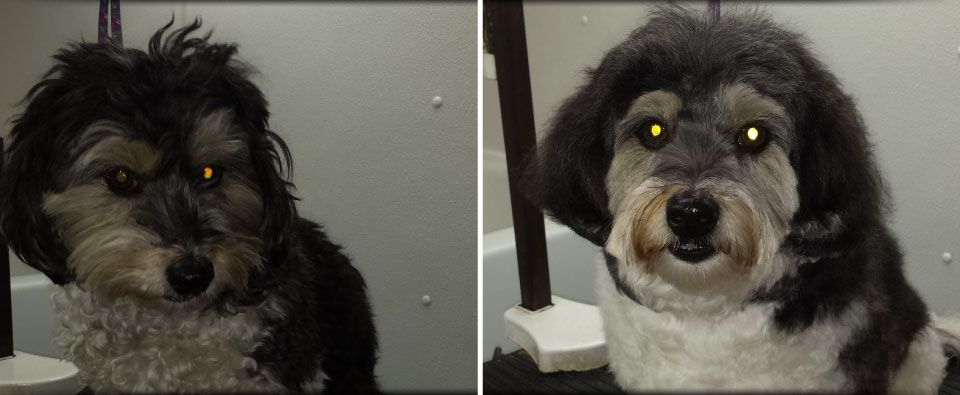 before and after grooming on small dog schnoodle type