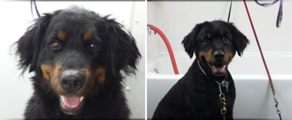Before and After - bernese puppy