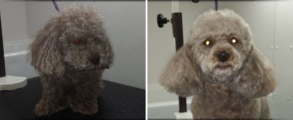 Before and After - small poodle