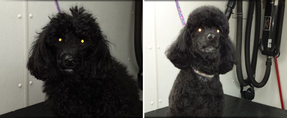 before and after grooming on poodle