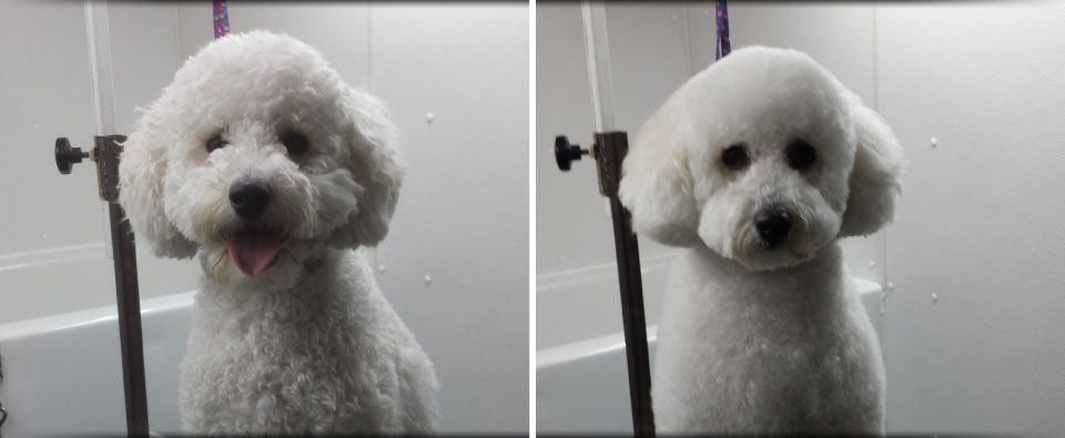 Before and After - bichon frisé