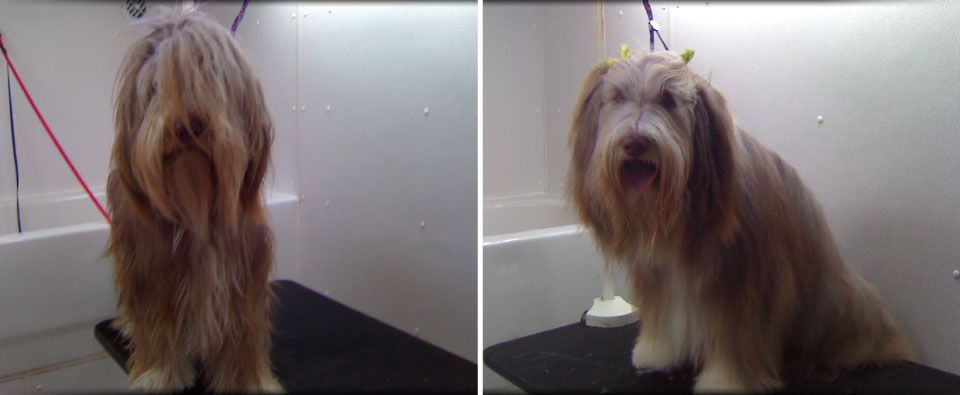 before and after grooming on long hair dog