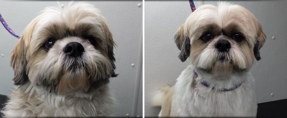 Before and After - Shih-Tzu