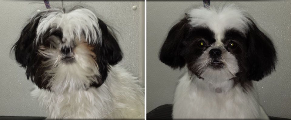 Before and After - Shih-Tzu black and white